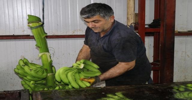 Anamur, Türkiyenin Muz İhtiyacına Yetişemiyor