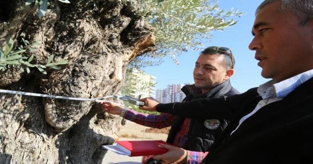 6 Metre Çapındaki Bin 500 Yıllık Zeytin Ağacı Görenlerin İlgi Odağı Oluyor