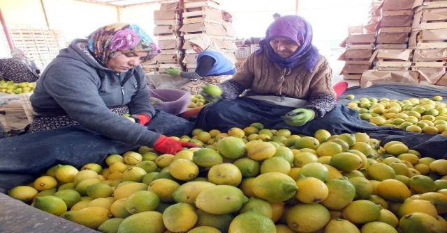 Limon Tezgahlarının Yükünü Kadınlar Çekiyor