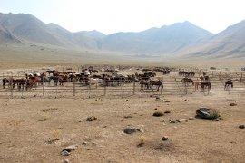 Karaman'da yılkı atları yakalanmaya başladı