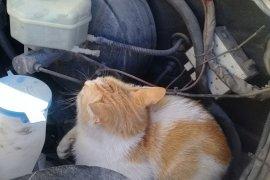 Ambulansın kaputuna giren kedi, Karaman'dan Konya'ya gidip geldi