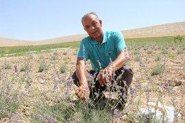 Karaman'da deneme amaçlı ekilen lavanta yüz güldürdü