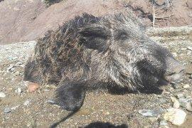 Mücadele Amaçlı Yaban Domuzu Sürek Avı Düzenlendi