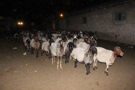 Sokak Köpekleri  Koyunlara Saldırdı 3 Koyun Telef Oldu