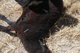 Karaman'ın Eğilmez köyünde 42 kuzu telef oldu.
