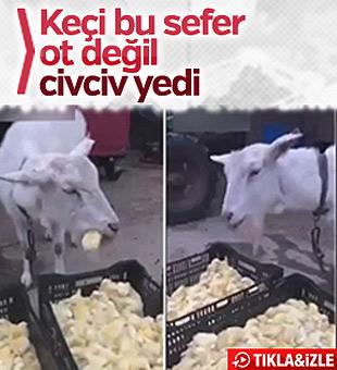 Çin'de keçi civciv yedi