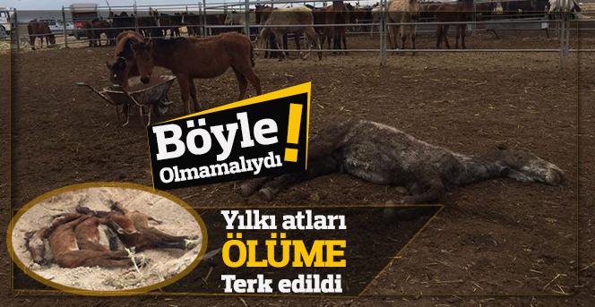 Yılkı atları ölüme terk edildi