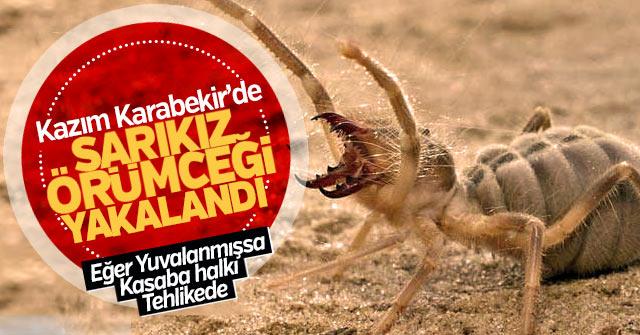 Kazım Karabekir'de Sarıkız Örümceği yakalandı.