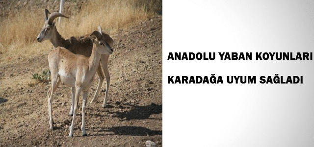 Anadolu Yaban Koyunları, Karadağ'a Uyum Sağladı