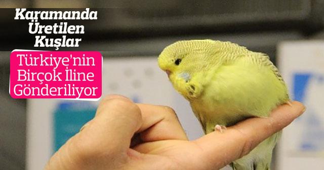 Türkiye'ye muhabbet kuşu üretiyor